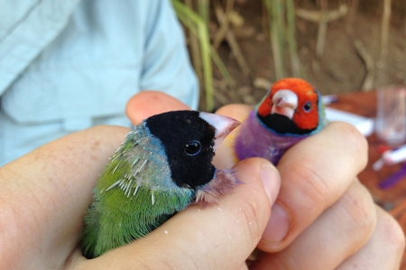 Human holding two finches in hands