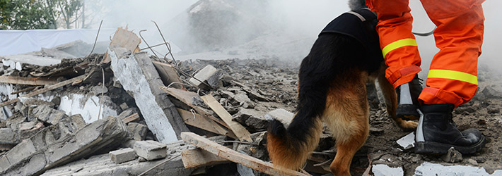 A rescue dog patrols a disaster location