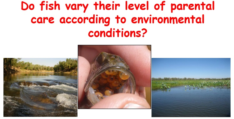 Do fish vary their level of parental care according to environmental conditions?