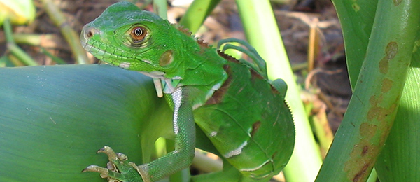 Young iguana in the Amazon rainforest