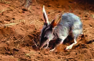 Short course will teach people about bilbies, dingoes and other creatures. Image courtesy Alice Springs Desert Park