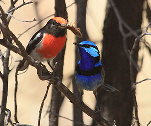 Richard Waring's photo of a Red-capped Robin with a Splendid Fairy-wren near Alice Springs