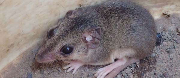 The Butler's Dunnart is only found on the Tiwi Islands