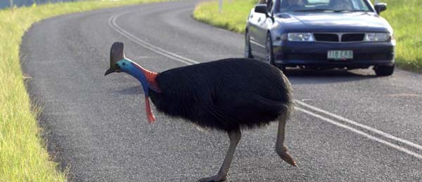 New research identifies stretches of road where the southern cassowary is most at risk. Photo: Jeff Larson