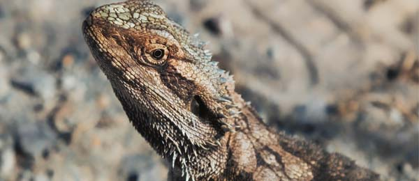 Species such as the Bearded Dragon many be at risk. Photo: Steve Austin