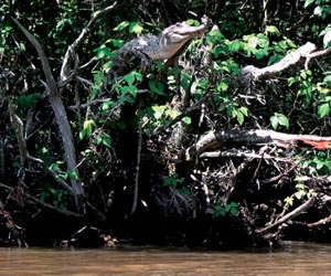 CDU researcher Dr Adam Britton has contributed to a recent study, which shows some crocodilians can climb trees