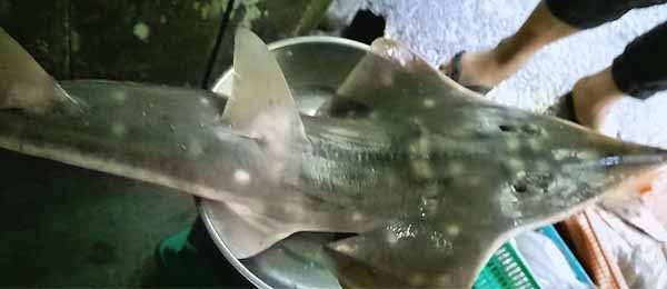 The Clown Wedgefish (Rhynchobatus cooki) has been found at a Singapore fish market