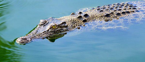 Research finds crocs are not as disease-resistant as first thought