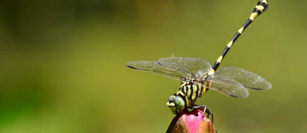 The Australian Tiger dragonfly is commonly found in the Darwin Botanic Gardens
