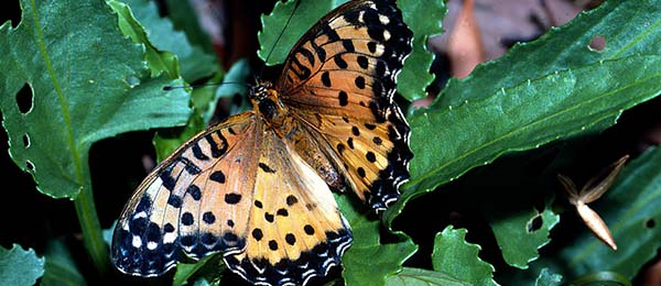 The butterfly species at greatest risk of extinction, 'Australian Frtillary', was last reported in New South Wales in 2015, with no confirmed sighting since 2021