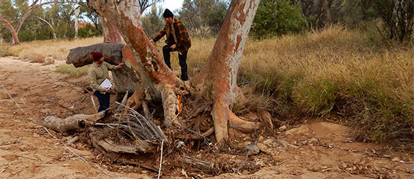 Ecology students gather data on a river red gum in the West MacDonnell Ranges