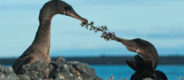 Students will have the opportunity to see many Galapagos endemic species such as the flightless cormorant. Photo: John Garate