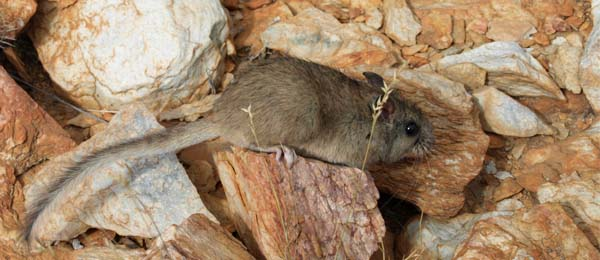 The Tasmanian tiger could champion the conservation of the Northern Territory's central rock rat. Photo: Patrick Hodgens