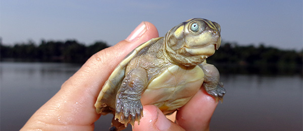 A Giant South American Turtle hatchling in Brazil's Trombetas, a river than runs into the Amazon