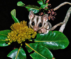 A tree-dwelling glider thought to be a sugar glider until recent DNA testing suggested otherwise. Photo Ian Morris