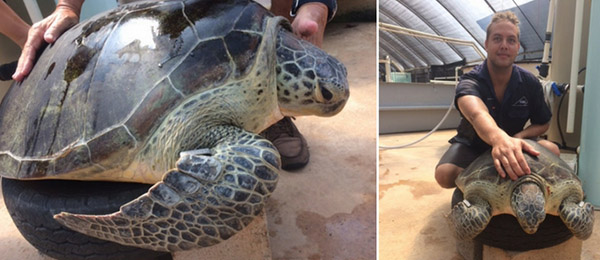 Morla the green sea turtle, pictured with Aquaculture technical officer Dan Costa, is tagged and returned to the wild after regaining strength at CDU's turtle rehabilitation centre