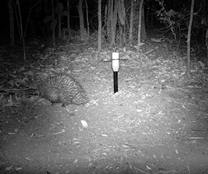 The elusive echidna was spotted with advanced infrared camera technology