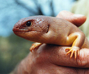 A great desert skink. Image courtesy SA Museum / Dr Mark Hutchinson