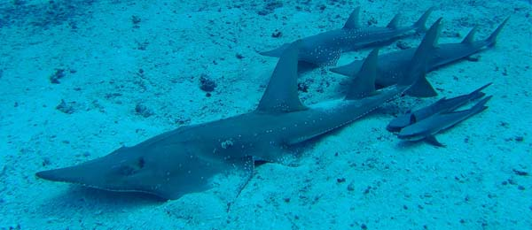Northern Australia is a refuge for threatened Rhino Rays such as the Bottlenose Wedgefish. Source: Arnaud Brival