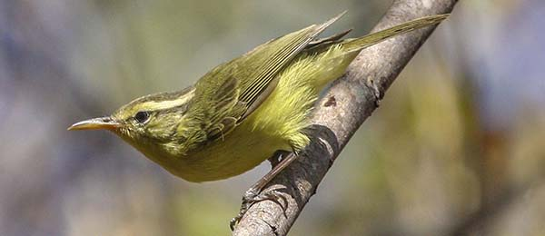 CDU researcher Colin Trainor collaborated on research of new bird species, the Rote Leaf-Warbler. Pic: P. Verbelen.