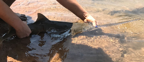 A largetooth sawfish pup is released into the Daly River.