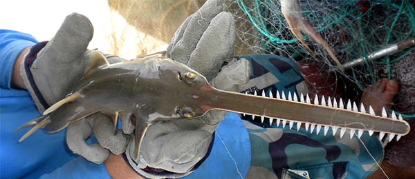 CDU and the Northern Prawn Fishery are launching a project to study the Narrow Sawfish across Northern Australia. Pic: Dr Peter Kyne