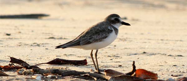 The Greater Sand Plover is endangered in some parts of the world. Photo: Sarah Mackie