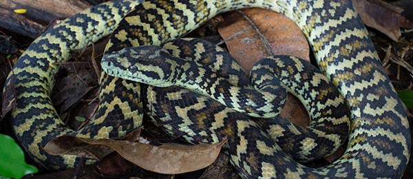 The carpet python is one of the most common snakes found in Darwin