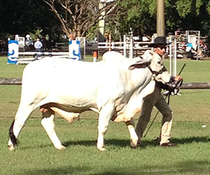 Leading hand Troy Johnson presents Huckleberry to the judge at Freds Pass Show
