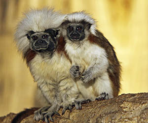 Colombia's endangered Cotton-Top Tamarin