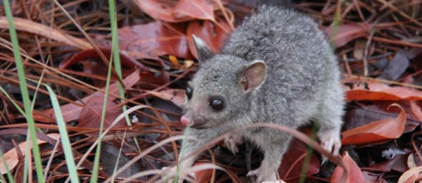 Species such as the northern brushtail possum are in trouble on some of the NT's remote islands