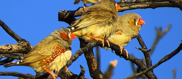 Zebra Finches will forage on buffel grass seed but prefer native grasses