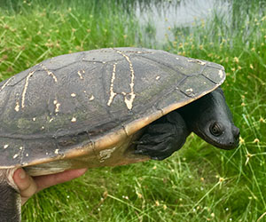 A recovered northern long-necked turtle is released back into the wild. Photo: Geraldine Reid