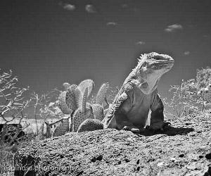 """Iguana de tierra"" by Ecuadorian photographer Fernando Espinosa Chauvin will be part of the exhibition in Darwin"