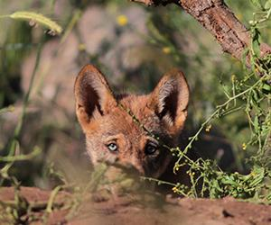 A pup from the wolf pack. Photographer: Itamar Yairi