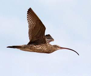 Eastern Curlews numbers in Darwin Harbour are showing an increase. Photo: Amanda Lilleyman