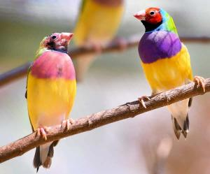 The Gouldian finch is considered endangered with its numbers in the wild dropping to mere hundreds.