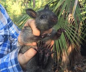 CDU researchers hope the black-footed tree-rat and other endangered arboreal mammals will use the nest boxes. Picture: Hayley Geyle