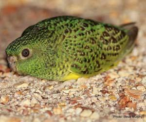 The elusive night parrot. Photo: Dr Steve Murphy