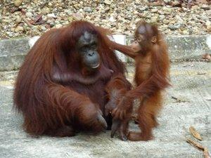 The orang-utan population on Borneo has declined by more than 50 per cent during the past 60 years