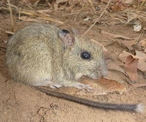 CDU researchers will evaluate the extent of cat predation on the threatened brush-tailed rabbit-rat (pictured), through the National Environmental Science Program. Photo: Hugh Davies
