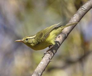 CDU researcher Colin Trainor collaborated on research of new bird species, the Rote Leaf-Warbler. Pic: P. Verbelen