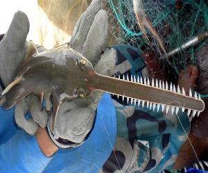 Charles Darwin University and the Northern Prawn Fishery are launching a project to study the Narrow Sawfish across Northern Australia. Pic: Dr Peter Kyne