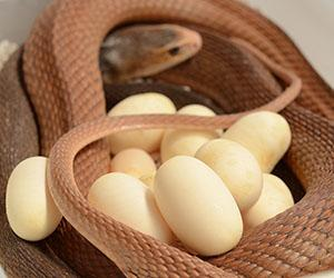A female Coastal Taipan can lay up to three clutches of eggs. Photographer: Luke Allen