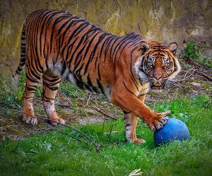 Research probes how to keep tigers happy