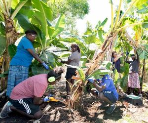 The Tiwi Island VET students working on banana plants at Casuarina campus.
