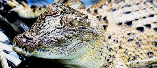 A team of researchers from CDU will investigate the impact of the recovery of the northern Australian estuarine crocodile population on river ecosystems