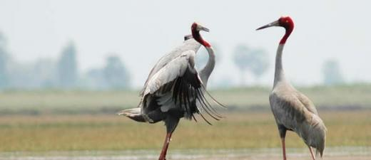 The majestic Sarus Crane is a globally threatened species