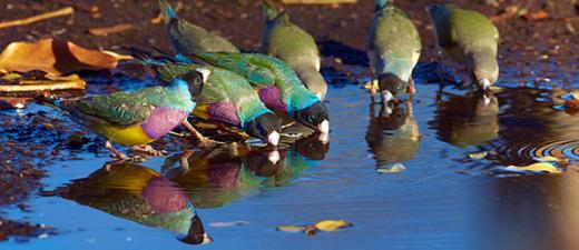Gouldian finches drinking at a waterhole in Western Australia. Credit: Minden Pictures/Alamy Photo