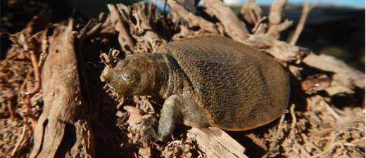 The enigmatic New Guinea giant softshell turtle (hatchling) is one of the freshwater turtle species that are at risk of disappearing before researchers have time to study them. Photo by Dr Carla Eisemberg, Kikori River, Papua New Guinea